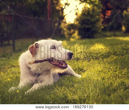 Parson Russell Terrier Dog Playing Outside in Summer
