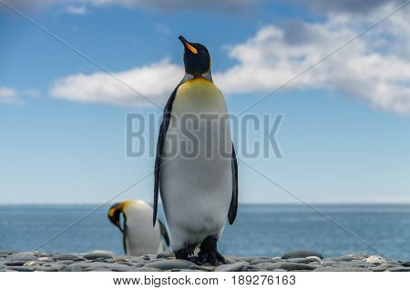 Two King Penguins standing against the sea on South Georgia's Salisbury Plains.