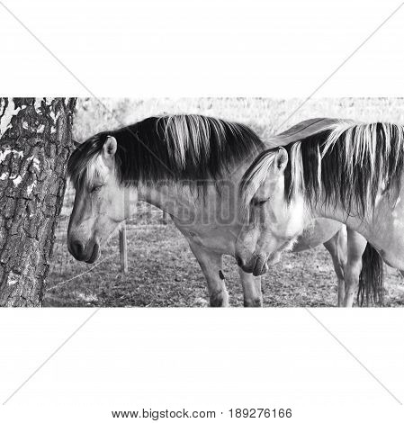 Two Horses in Black and White. Together in a Paddock