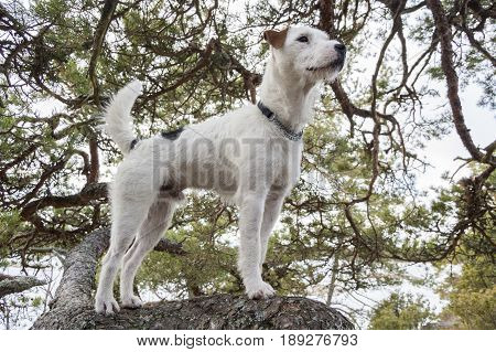 A Proud Parson Russell Terrier Dog Posing for the Camera