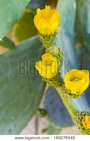Blossom edible prickly pears (Opuntia ficus-indica) cactus plants Sicily Italy