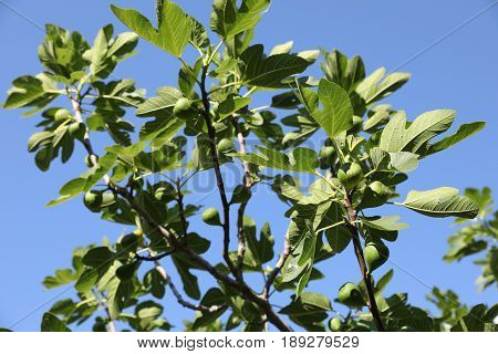 Growing Fig Fruits On Branches Of A Fig Tree.