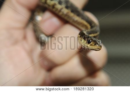 Garter snake the state reptile of Massachusetts