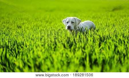 sweet labrador retriever dog puppy in a green meadow with copy space