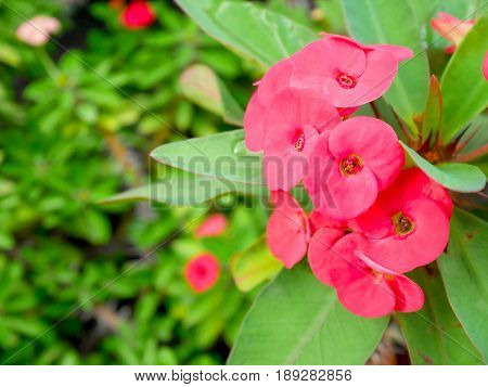 Crown of thorns or christ Thorn in the garden