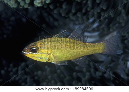 A Yellow Cardinalfish, (Apogon luteus) hides under a ledge at the Kwajalein Atoll in the Pacific
