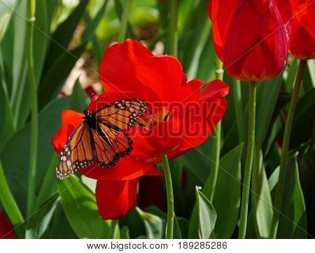Butterfly sipping nectar from a red tulip A butterfly perches on a blooming tulip bulb sipping nectar