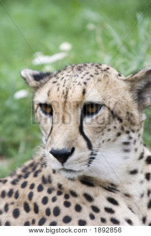 Acinonyx Jubatus Head
