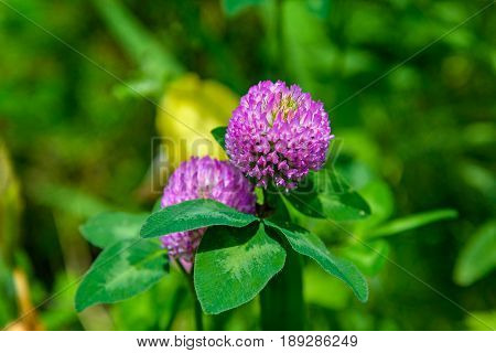 Clover flower photographed close-up on a background of green grass