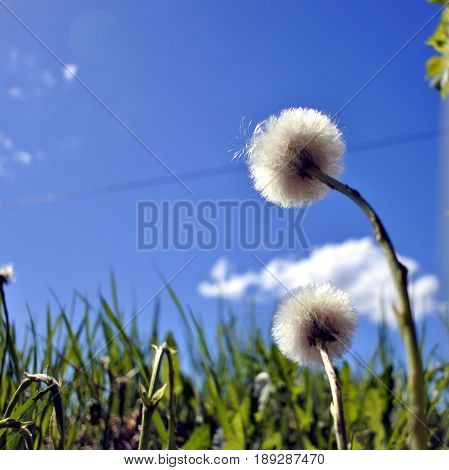 fluffy flowers mother and stepmother on blue sky with white clouds background