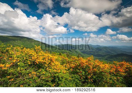 Mountain Flame Azalea Spring Flowers Scenic Landscape along Appalachian Trail in North Carolina taken in the Roan Mountain Highlands region