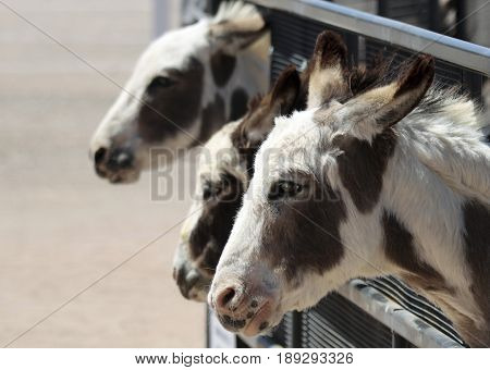 A Trio of Miniature Sicilian or Mediterranean Donkeys with Their Heads Protruding from a Corral Fence