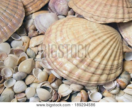 Sea cockleshells are formed of limestone. They are located on the beach.