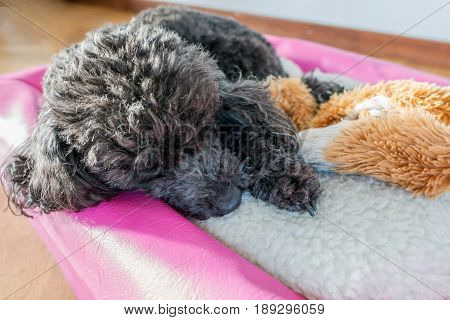 Black minature poodle sleeping with it's toy