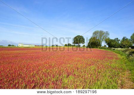 Japanese Blood Grass Crop