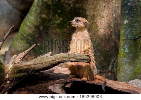 Meerkat looks away sits on a branch