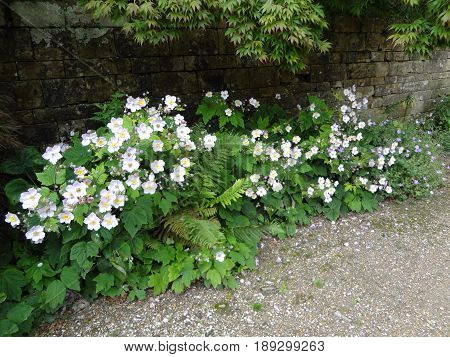 A patch of white flowers against a brick background.