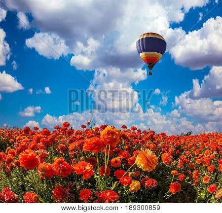 The  blossoming fields of red garden buttercups. The huge multi-color balloon slowly flies in clouds. Concept of rural and extreme tourism