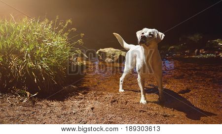 young white labrador retriever dog puppy playing in a river during a hike