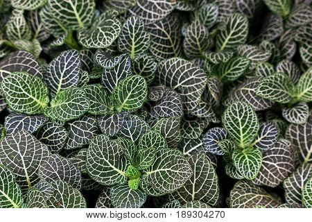 Beautiful variegated Fittonia Albivenis plant a mass of spectacular dark green variegated leaves with white veins. Background with space for text.