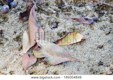 fallen leaves on the sand leaves fallen from the tree lay on the sand