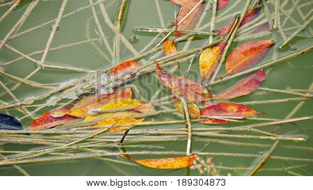 Fallen leaves floating in water, close up Leaves fallen from a tree float among twigs and bushes in the water