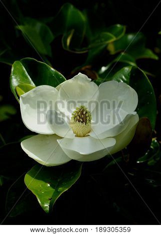 Single magnolia blossom in full bloom with dappled filtered light with dark green waxy leaves