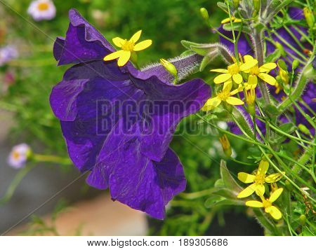 A MAUVE PETUNIA, SURROUNDED BY YELLOW FLOWERS