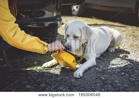 A Girl gives a young labrador retriever dog puppy some water to drink because of the heat in the car while traveling