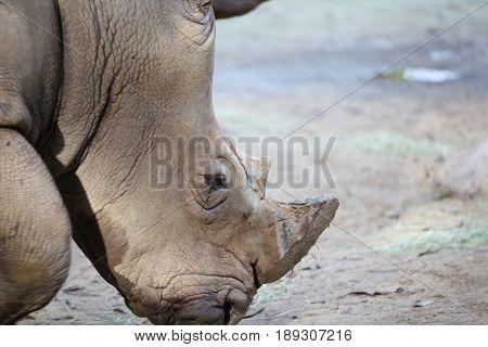 Big rhinoceros posing on camera Singapore south east asia