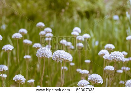 View on beautiful white flowers. Close-up of blooming Flowers. White Flowers on a Field. Growing Flowers. Garden Flowers
