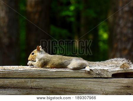 Relaxed Grey squirrel reclining, laying down on wooden deck rail eating bird seed and sunflower seeds