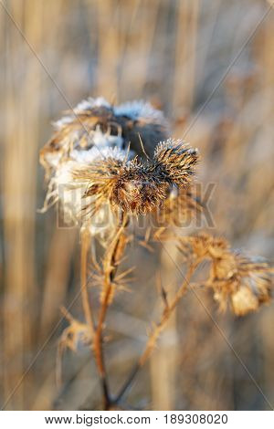 Dry Thistles Illuminated By The Sun In The Autumn Day