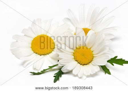 Chamomile Or Camomile Flowers Isolated On White Background