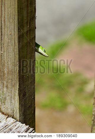 Bright green small Enole lizard peeking around the wooden slat of a weather deck