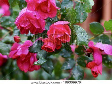 Cluster of red knock out roses in full bloom after rain with dark green leaves and rain drops