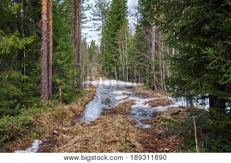 Road in spring pine forest. Russian taiga