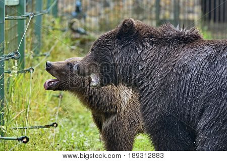 Muzzles of two brown old bears wet after a rain in open-air cage for sick wild animals protection