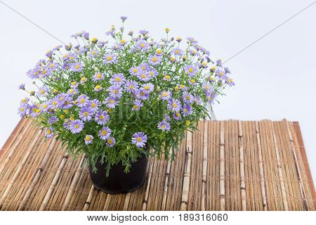 Brachyscome Flowers With Purple Extensions And Yellow Center (asteraceae) In A Dark Pot On A Bamboo