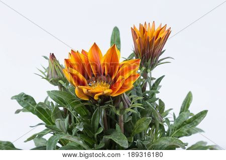 Gazania Close Up Dark Yellow Orange Flower From South Africa Isolated On White Background