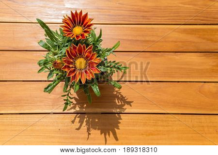 Gazania Dark Yellow Orange Flower From South Africa In A Pot Isolated A Striped Wood Table