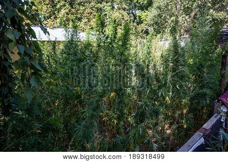 Thickets of cannabis in the yard in Samara
