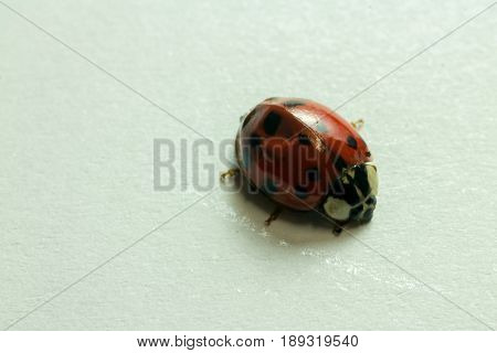 Macro Image Of A Lady Bug Isolated On White Background