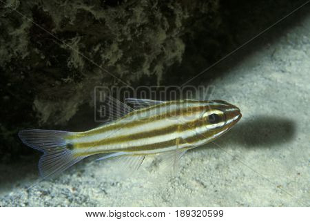 A Black Striped Cardinalfish, (Apogon nigrofasciatus) at the Kwajalein Atoll in the Pacific
