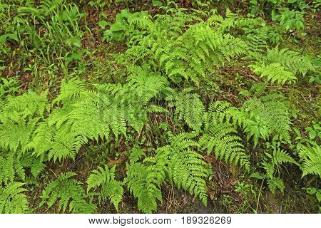 Ferns on the Forest Floor along the Appalachian Trail in the Great Smoky Mountains National Park in North Carolina