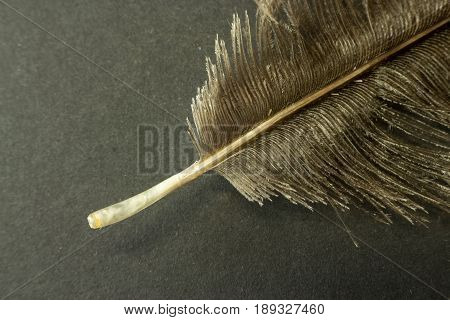 Macro Zoom Image Of A Ostrich Feather  On Dark Background
