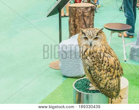 Eagle Owl/An eagle owl.The owl looks intently at something.
