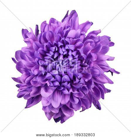Purple chrysanthemum isolated on a white background