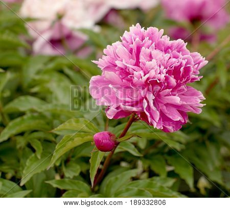 Pink peony over the green leaves background