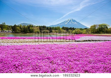 Japan Shibazakura Festival with the field of pink moss of Sakura or cherry blossom with Mountain Fuji Yamanashi Japan is famous place and popular for tourist in vacation.